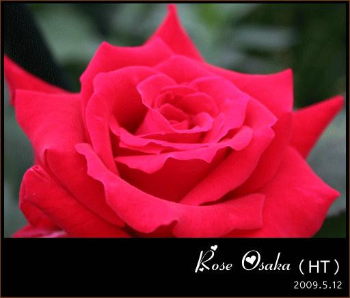 roseosaka.jpg_b.png